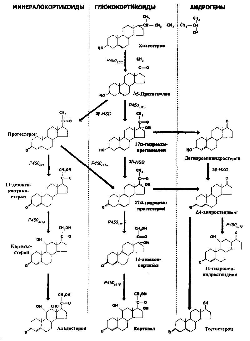 вернуться.  Рис.103.  Пути стероидогенеза в коре надпочечников. бейсболки белые.